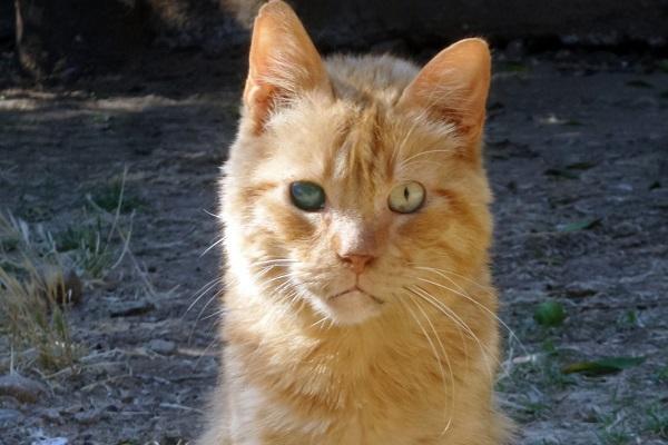 gatto rosso cieco da un occhio