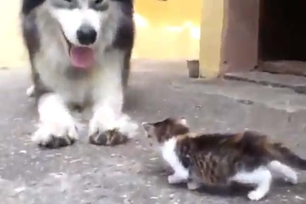 Gattino che gioca con un husky