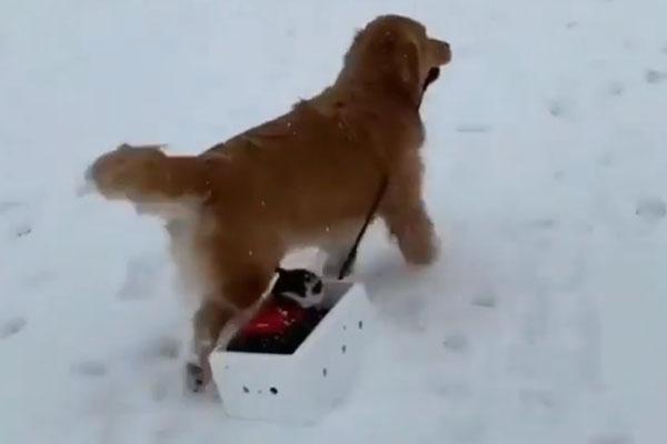 Gattino su uno slittino trainato da un cane