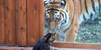 Gatto con una tigre