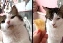 Gatto che assaggia una patatina