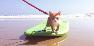 Gattino su una tavola da surf