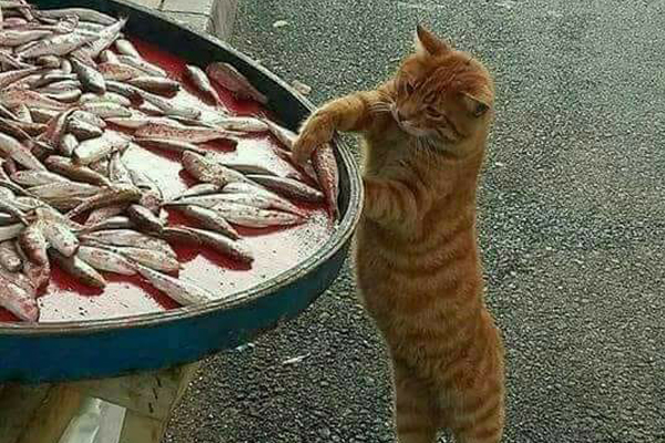 Gatto che ruba un pesce
