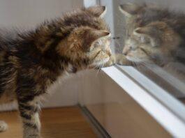 Gatto e specchio