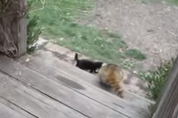 gattino aiuta procione a scendere le scale
