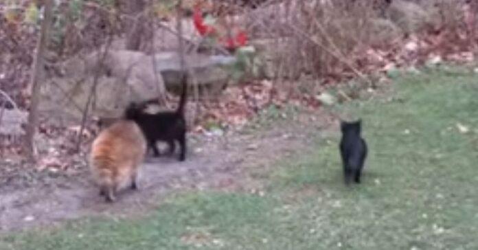 gatti aiutano procione cieco