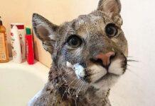 puma fa il bagno come un gatto domestico