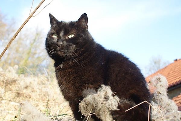 gatto nero ci osserva
