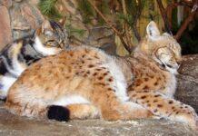 gattina e lince dormono insieme