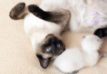 gattini-siamesi-appena-nati