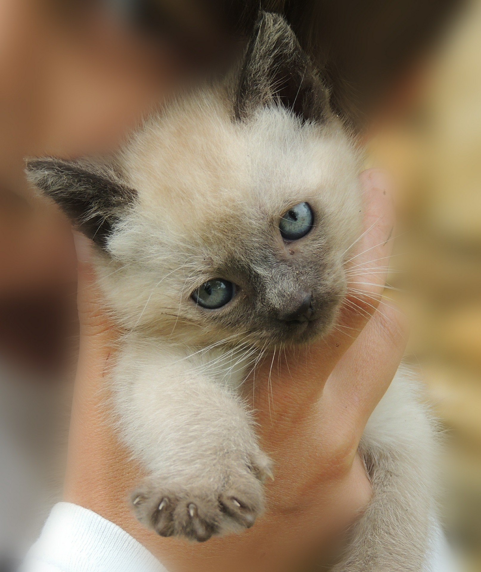 gattino-siamese