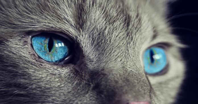 gatto occhi azzurri