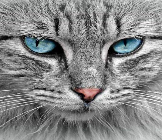 gatto occhi belli