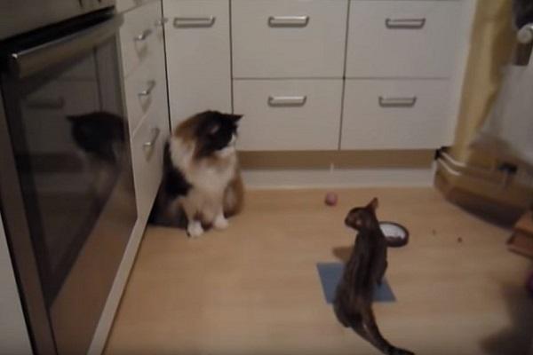 gatto del bengala gioca con un possente maine coon
