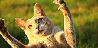 gatto che caccia