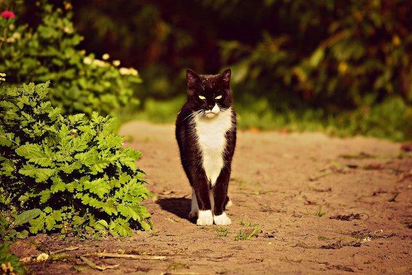 gatto maschio