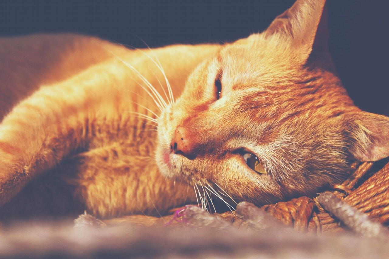 gatto-sedato
