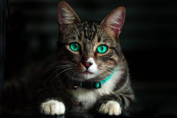 gatto e collare
