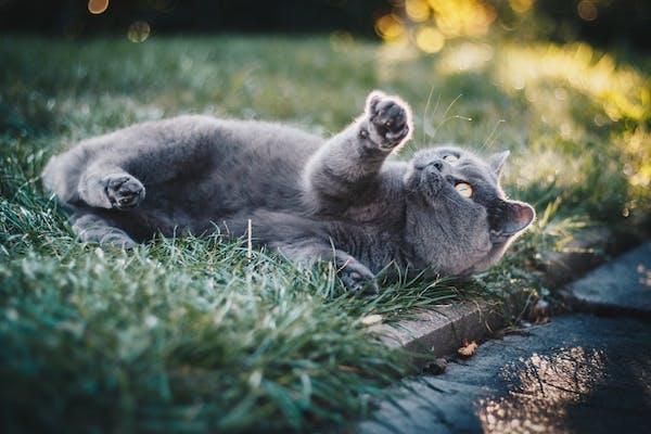 gatto che gioca su prato