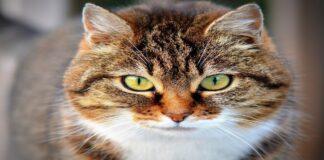 gatto occhioni dolci