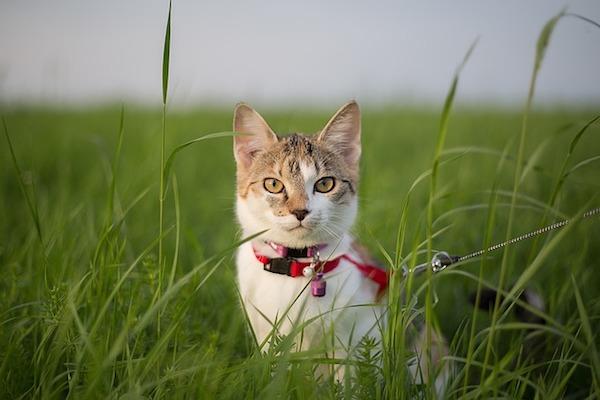 gatto passeggia al guinzaglio
