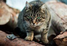 gatto con passo felpato