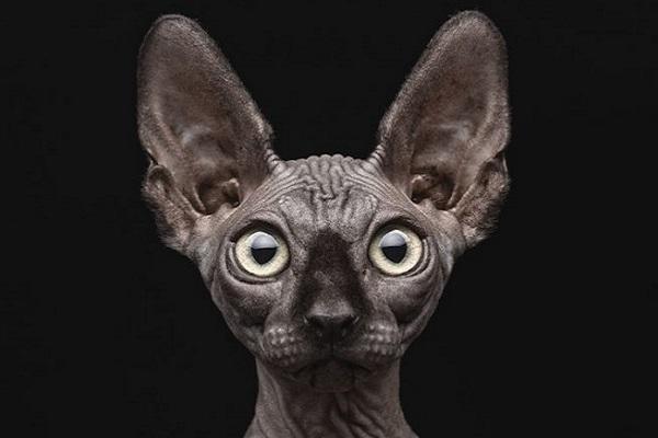 Sphynx gatto