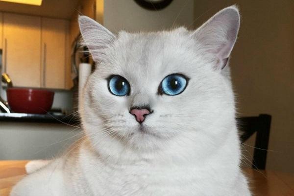 british shorthair gatto