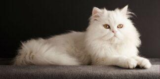 gatto siamese bianco