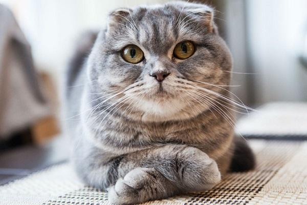 gatto con orecchie abbassate