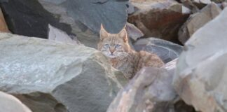 gatto di Geoffroy
