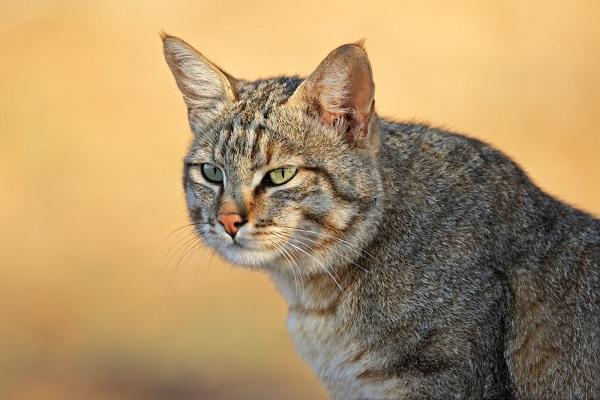 felis silvestris lybica gatto