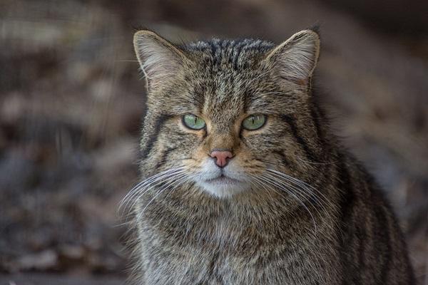 felis silvestris silvestris gatto