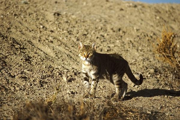 gatto selvatico australiano