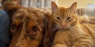 gatto soriano e cane
