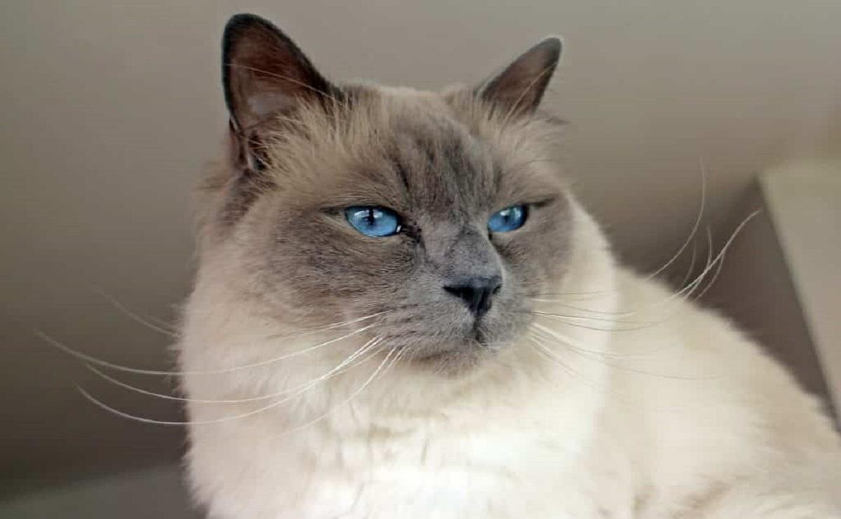 gatto birmano occhi blu