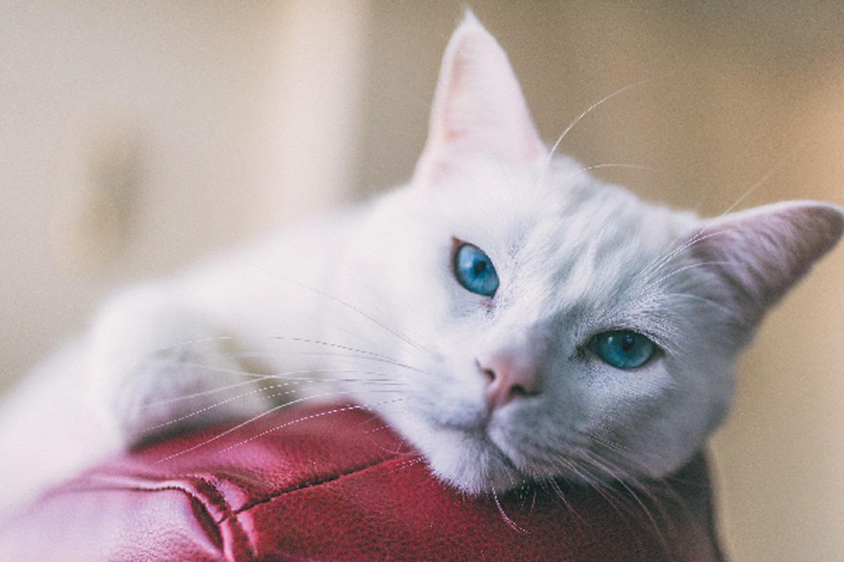 angora turco occhi blu