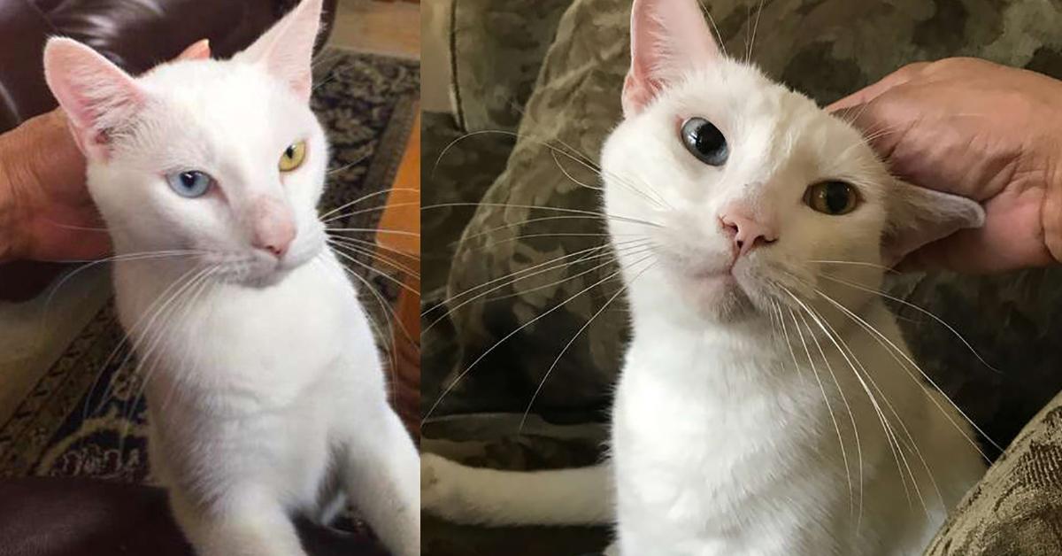 Gatto con occhi diversi