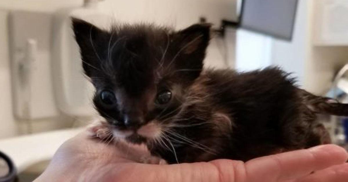 Francis-il-gattino-minuscolo-che-ha-lottato-per-sopravvivere-il-video-della-sua-rinascita1
