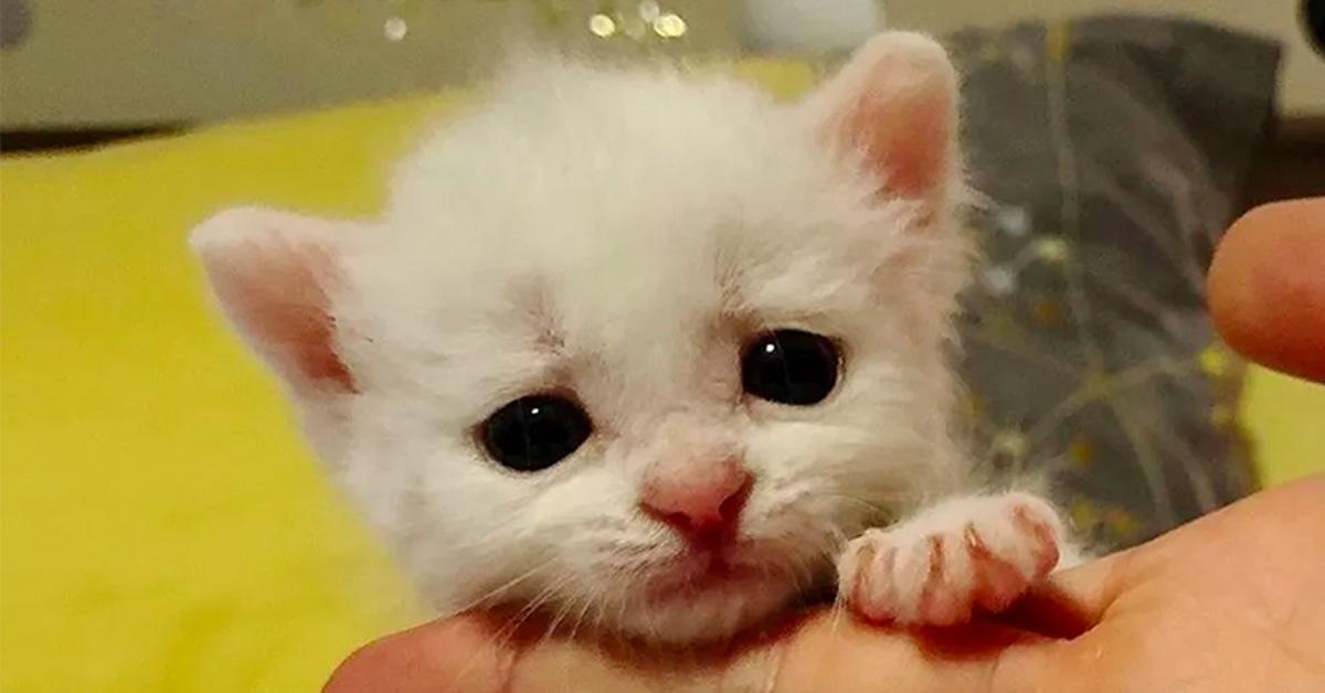 King-il-gattino-sordo-che-e-stato-adottato-da-altri-due-felino-sordi-video1