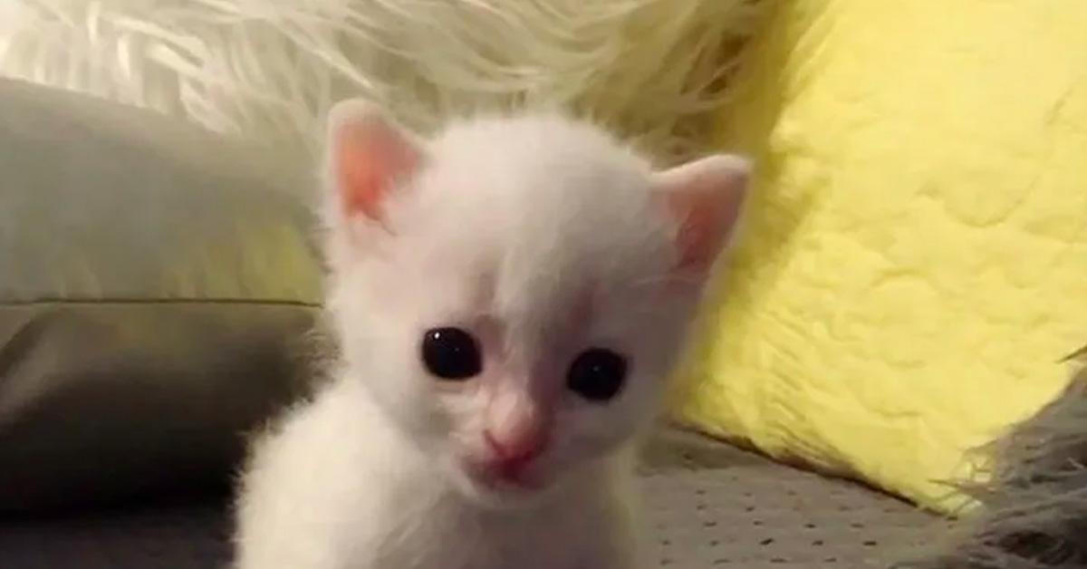 King-il-gattino-sordo-che-e-stato-adottato-da-altri-due-felino-sordi-video3