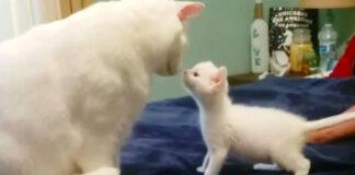 King-il-gattino-sordo-che-e-stato-adottato-da-altri-due-felino-sordi-video4