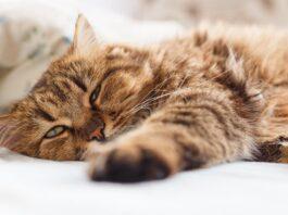 gatto anziano disteso