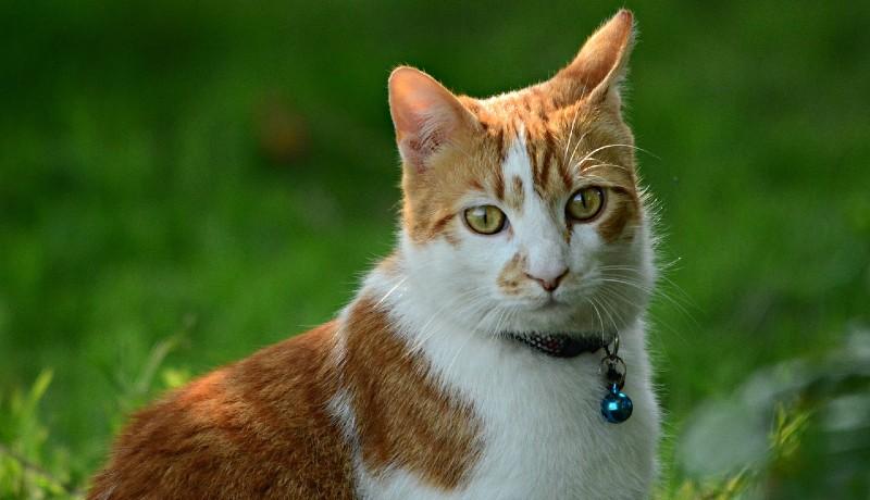 Gatto soriano