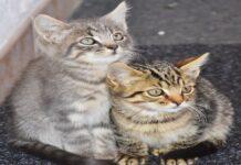 comportamento gattini