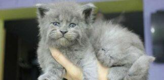 gatto cucciolo di maine coon