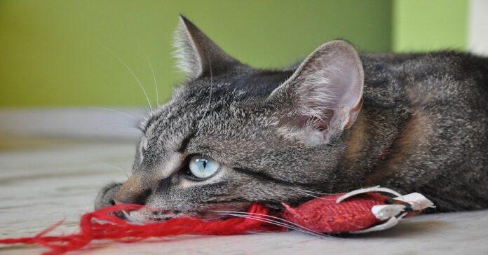 gattino casa da solo gioca