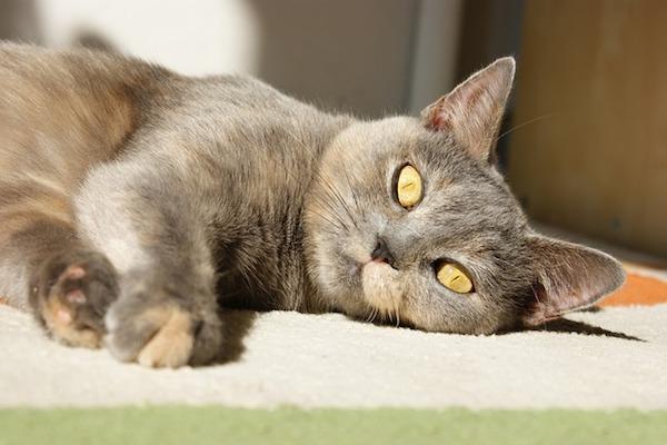 gatto adulto rilassato