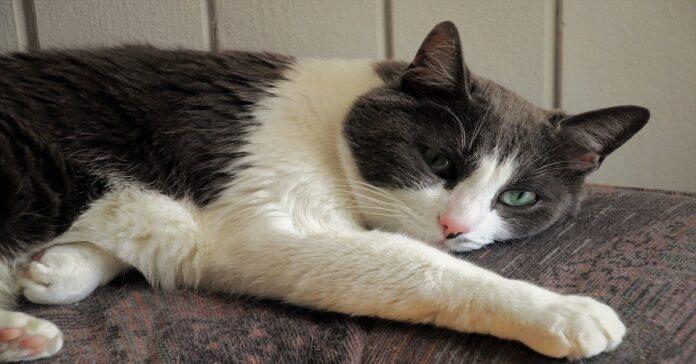 gatto stanco causa vermi