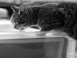 gatto adulto latte